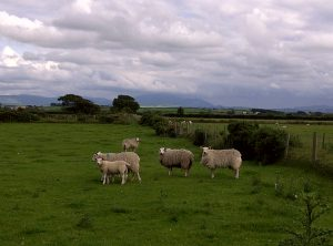 photo of sheep in a field
